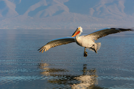 Dalmatian pelican (Pelecanus crispus) shot at sunrise at lake Kerkini in Greece