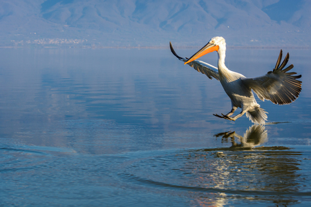 Dalmatian pelican (Pelecanus crispus) shot at sunrise at lake Kerkini in Greece