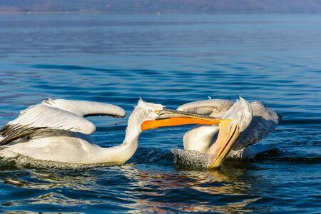 agression: Dalmatian pelican (Pelecanus crispus) shot at sunrise at lake Kerkini in Greece