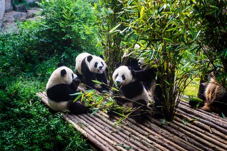 Panda's die van hun bamboeontbijt genieten in Chengdu-Onderzoeksbasis, China Stockfoto