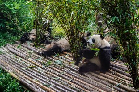 Pandas enjoying their bamboo breakfast in Chengdu Research Base, China