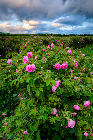Bulgaarse rozenveld bij zonsondergang (Rosa Damascena). Ontsproten dichtbij Karlovo, Bulgarije.