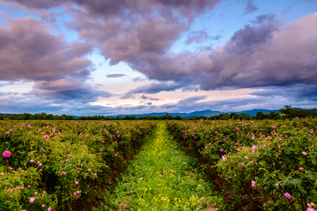 Bulgarian rose field at sunset (Rosa Damascena). Shot near Karlovo, Bulgaria.