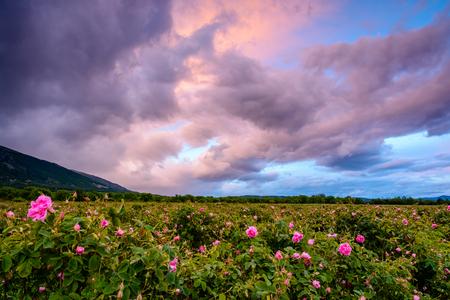 Bulgarisches Rosenfeld bei Sonnenuntergang (Rosa Damascena). Gedreht in der Nähe von Karlovo, Bulgarien. Standard-Bild - 79873277