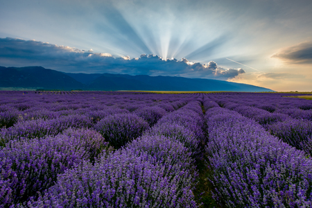 Lavender field shot at sunrise with brilliant rays of light coming from clouds. Shot in Karlovo, Bulgaria Stock Photo