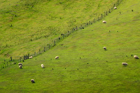 A herd of sheep scattered on a hill in New Zealand. Photo taken from another hill with telephoto lens which gives it a miniature and interesting look