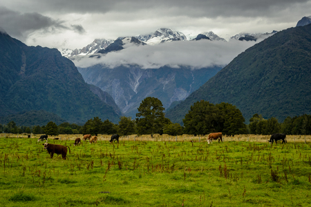 Beautiful landscape from New Zealand. Mountains with clouds in the background and cows on the foreground.