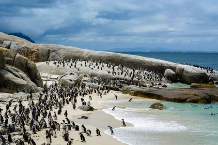African Penguin colony (Spheniscus demersus) living on Boulders Beach, Cape Town, South Africa