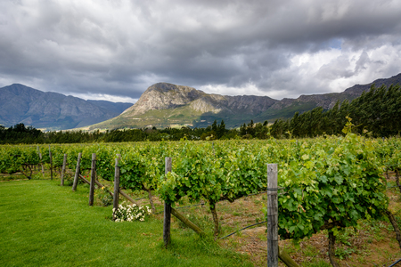 A vineyard in Franschhoek Winelands valley in South Africa. Horizontal photo on a cloudy day.
