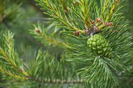 Pine cones for uses as background photo
