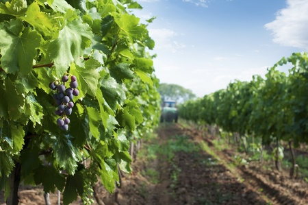 Spraying of vineyards. Grapes and a tractor in the background photo