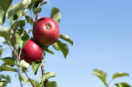 tree farming: Apple tree with red apples on blue sky background Stock Photo