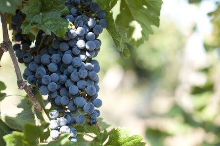 merlot: Merlot grapes on grapevine. Close up grapes Stock Photo