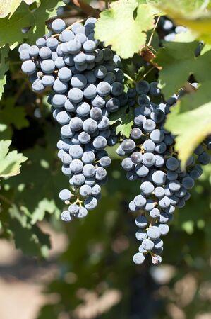 Merlot grapes on grapevine. Close up grapes photo