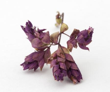 origanum: Dried oregano seasoning. Origanum vulgare  Stock Photo