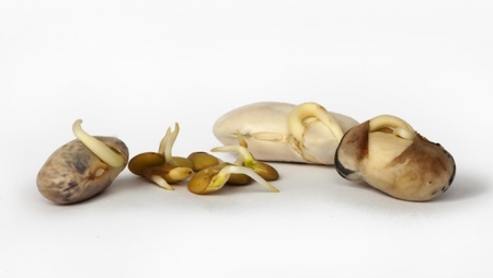 sprouted: Sprouted beans close up over white Stock Photo