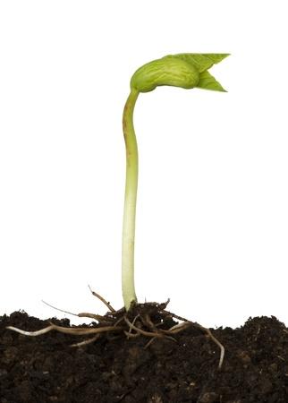 germination: Frijol germinando en el fondo blanco Foto de archivo