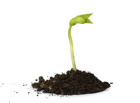 bean sprouts: Germinating bean on white background Stock Photo