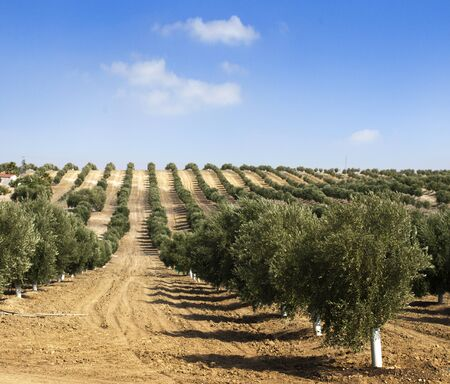 Young olive trees. Newly planted trees in the plantation photo