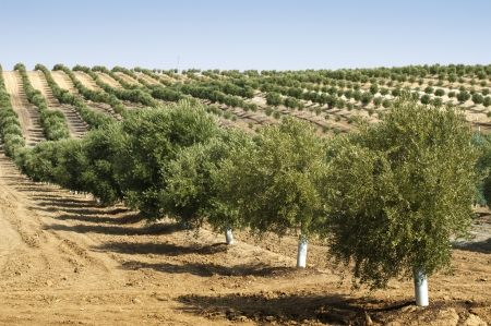 Young olive trees. Newly planted trees in the plantation