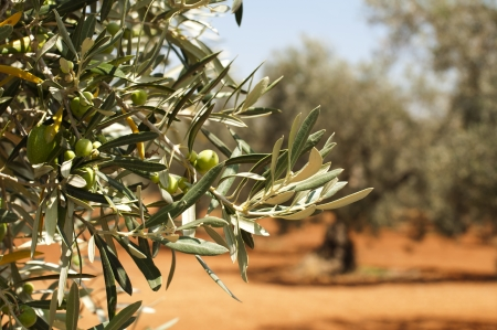 grove: Olive plantation and olives on branch. Foreground