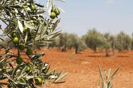 olivo arbol: Plantación de oliva y de las aceitunas en la rama. Primer plano