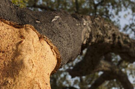 corkwood: Un ?ol de corcho. Commiphora spp.