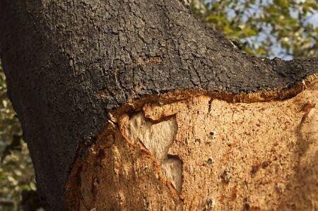 A corkwood tree. Commiphora spp. Stock Photo - 15101912