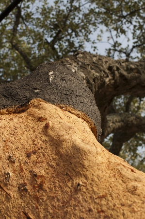 A corkwood tree. Commiphora spp. Stock Photo - 15101898