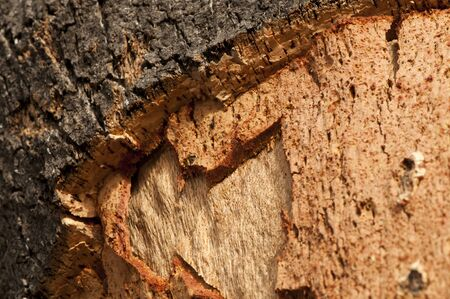 corkwood: Cork crust. Natural piece of wood