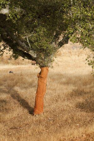 corkwood: A corkwood tree. Commiphora spp.
