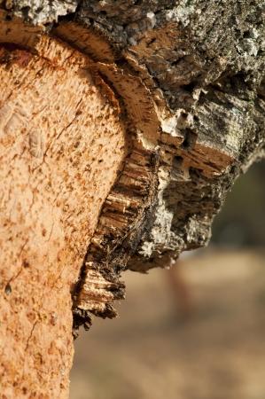 corkwood: Un �rbol de corcho. Commiphora spp. Foto de archivo