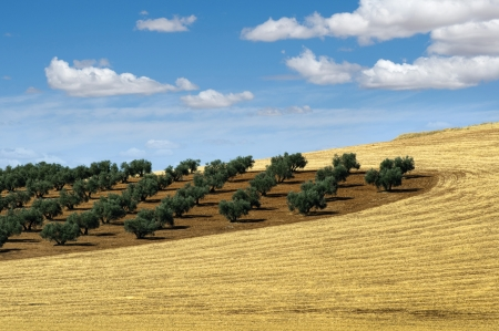 Olive trees in a row. Plantation and cloudy sky Standard-Bild