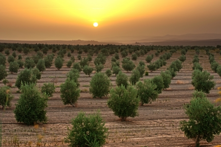 Olive trees in a row. Plantation and sunset cloudy sky photo