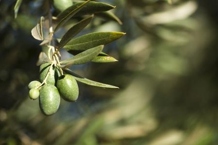 hoja de olivo: Aceitunas en una rama. Cerca aceitunas verdes en un �rbol. Foto de archivo