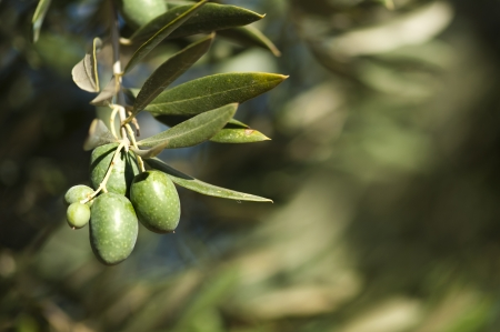 Olives on a branch. Close up green olives on a tree. photo