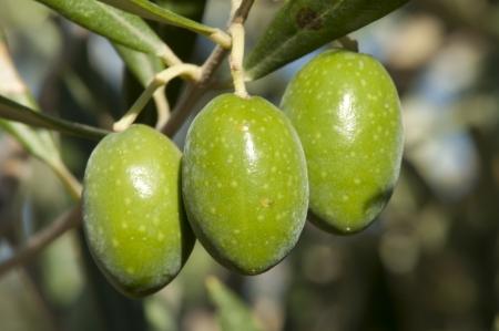 Olijven op een tak. Close-up groene olijven op een boom.
