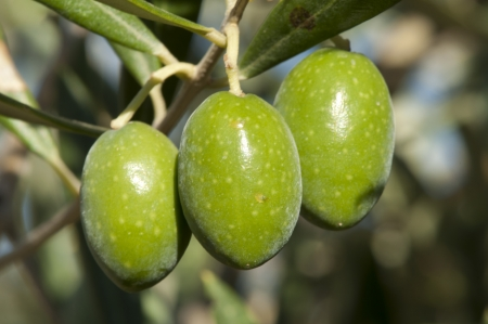Olives on a branch. Close up green olives on a tree.