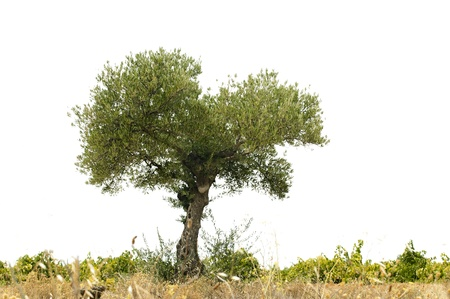 Olive tree and land white isolated