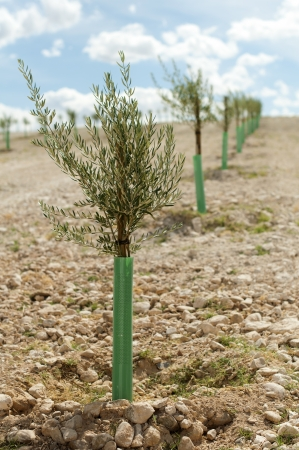 Small olive trees in a row. Yang olive plantation. photo