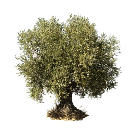 wood agricultural: Olive tree white isolated.