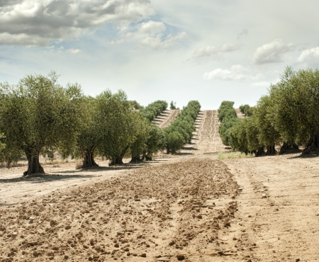 Olive trees in a row. Plantation and cloudy sky Stock Photo