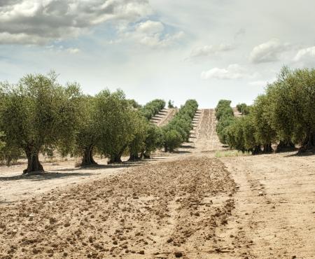 Olivo in una riga. Plantation e cielo nuvoloso