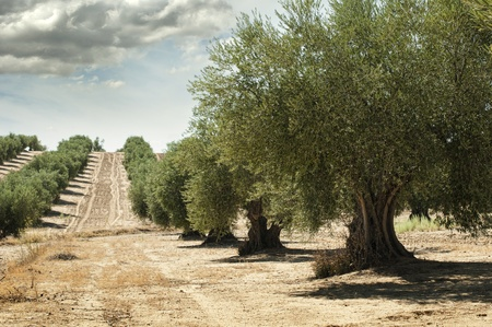 olivo arbol: Olivos en una fila. Plantación y cielo nublado