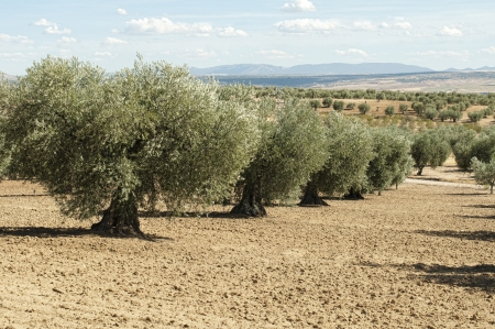 Olive trees in a row. Plantation and cloudy sky photo