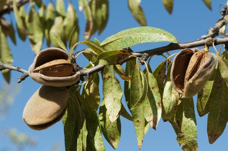 almond tree: Nearly ripe almonds on branch Stock Photo
