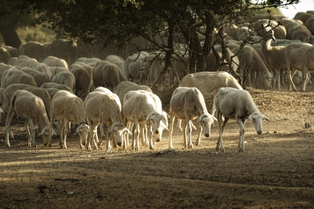 Sheep herd in mountain. Running sheeps in a farm photo