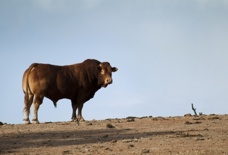 Bull in Farm on the horizont photo