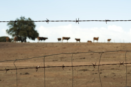 cattle wire: Animals on a farm surrounded by barbed wire.