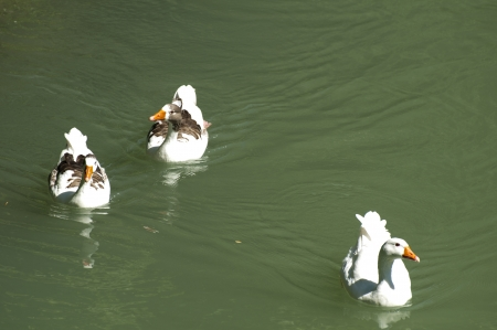 Ducks in the river and reeds. photo
